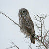 Great Grey : Ajax : A majestic Great Grey Owl.