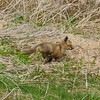Fox Kit : Scarbouroug Bluffs, Scarborough, ON