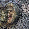 Tree Gnomes : These are the last images of the best examples of the remaining Tree Gnomes that still reside in the local wood. This ethereal community was once much, much larger. Alas, hapless victims of urban sprawl, vandalism, nature's ravage and the violence of the ubiquitous chainsaw have taken their toll. Fortunately, in archive I have photo captures on print film of the many other members of the enclave, now long since gone . Someday, when I have lots of time, ... I will scan the ghost photo's and post.