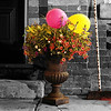 Balloons, Blooms and a Broom : Pickering Village-Ajax/2010