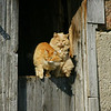Two Gingers : Ajax, ON;  Perched on the barn door at the old farm, just up the street.  Handheld  (old Minolta,100-300/APO, x1.4TC, = 420mm( 630mm in 35mm )