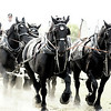 Percheron Team : Brigden Fair, Ontario, Canada; these horses are huge at a ton or more apiece and the ground rumbles as they pass by.