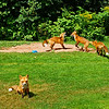 Close Enough : Prince Edward Island, Canada { Mother fox keeps a close eye on me that I keep a minimal distance, while the kids (kits) play.}