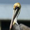 Pelican Gaze : Marco Island [handheld]
