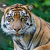Tiger Glare: The Toronto Zoo; {this very alert tiger was staring right down the lens barrel into my eye}